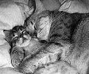 Los gatos tambien se enamoran